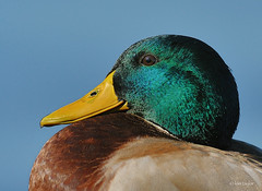 this guy is.... (Finiky) Tags: sleeping bird nature water duck nikon feathers finiky peep mallard drake waterfowl d3 greenhead canyouhearmenow bellhavenmarina
