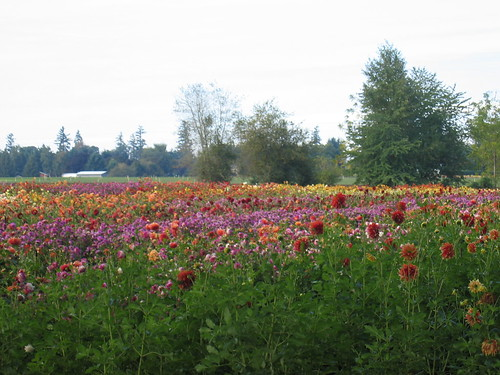 dahlia farm in Canby