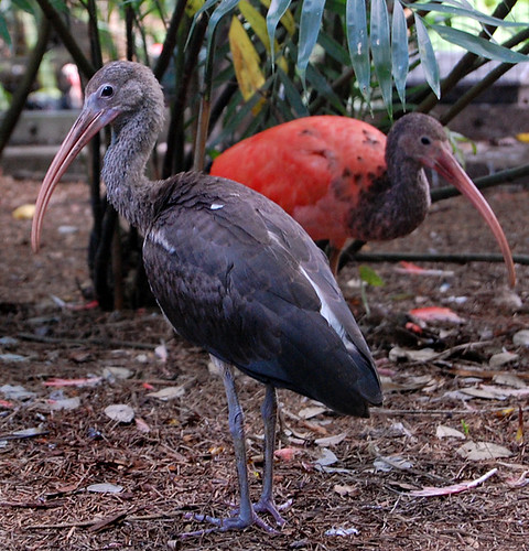 Baby Scarlet Ibis, before he gets all scarlety