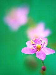HBW! (Coral flower) (tanakawho) Tags: pink fab plant flower macro green nature bush dof bokeh center pistil stamen bud pollen hbw coralflower tanakawho