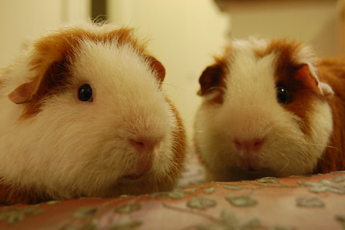 The Guinea Pig Lips of Chuy & Paco