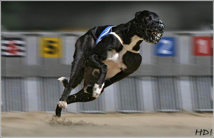 Greyhound Nike - Windhundrennen - Startkasten - Rennhund - Windhundzeitung