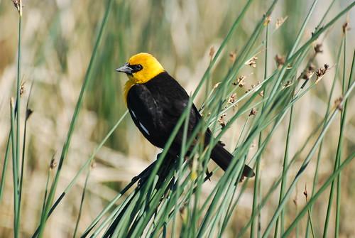 Yellow-headed Blackbird DSC_0260 Xanthocephalus xanthocephalus