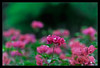 Bokeh de flores (hades.himself) Tags: pink flower nikon bokeh flor rosa luis nikkor riograndedosul hades canoas 85mmf14d sulfotoclube d700 balbinot