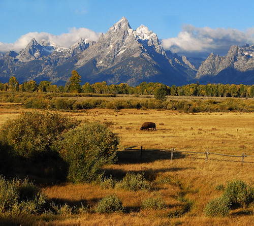 Bison and Grand Tetons - 1053b