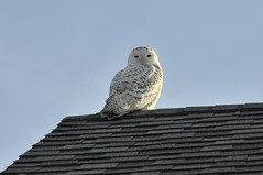 The Owl on the Roof (joeldinda) Tags: bird home yard snowy owl snowyowl joeldinda