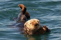 Sea Otter, AK (moelynphotos) Tags: sea wild nature animal animals alaska mammal wildlife otter seaotter potofgold seamammals moelynphotos planetearthanimalsbirds favoritenw10 rainbowelite pog1animalden