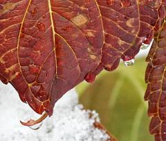 Big leaf (AnticoC) Tags: autumn snow macro leaves waterdrop thumbsup twothumbsup thumbsupwrestling tuw121