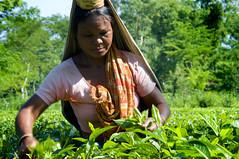 dhaka bangladesh2907 (silatjunkie) Tags: woman asia tea plantation 2008 bangladesh d300 srimongal womanwomen bangladeshnikond300