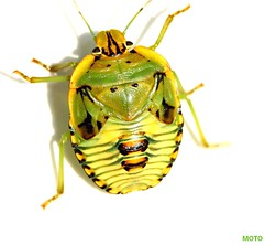 Face It! (DrPhotoMoto) Tags: show macro green face yellow del insect el stinkbug shieldbug aplusphoto macrophotosnolimits panoramafotogrfico 37moto notyournormalbug hemipteraorder heteroterasuborder