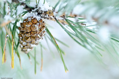 Upon Us (Photoshoparama - Dan) Tags: winter snow macro pine bokeh pinecone mywinners dsc4953 themacrogroup johnsongraphics photoshoparama danielejohnson crossroadonecom afmicronikkon60mmf28