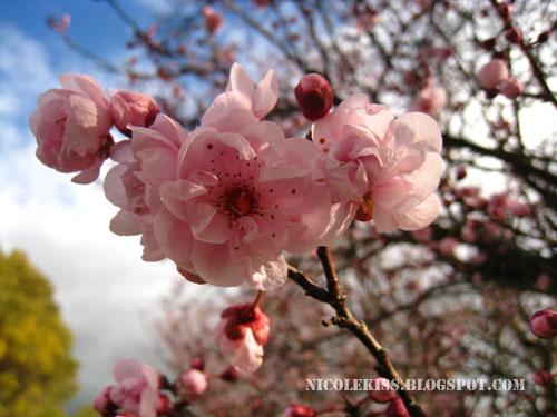 foursome sakura