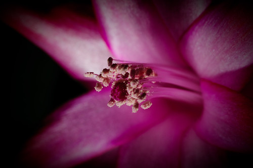 Schlumbergera Macro #5. Photo by fro_Ost on Flickr