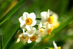 水仙 (nobuflickr) Tags: flower nature japan kyoto thekyotobotanicalgarden bej brillianteyejewel awesomeblossoms