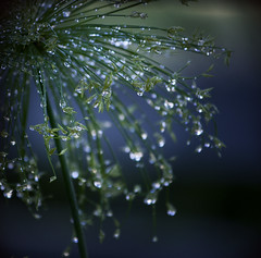 d r e n c h e d ({JO}) Tags: blue plant green nature droplets bokeh waterplant