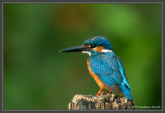 Small Blue Kingfisher ~ Ranganathittu, India (The Eternity Photography) Tags: india bird nature canon ilovenature bokeh wildlife birding 600 kingfisher karnataka mysore birdwatching 2009 birder alert digitalphotography birdsanctuary ranganathittu commonkingfisher alcedoatthis smallbird ranganathittubirdsanctuary supertelephoto supertele 600mm indiatourism wildlifephotography wildindia indianwildlife smallbluekingfisher incredibleindia winterwildlife canonllens weekendshoot iloveindia 40d canon600mm canoneos40d canon40d visitindia canonef600mmf4lisusm santanubanik theeternity exploreindia birdinginthewild sbkf savethewildlife     iloveindianwildlife    wwwfrozenforeternitycom birding600mm birdinginaboat