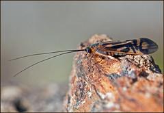 Zebra Caddisfly (Roy Cohutta) Tags: river georgia insects zebra albany flint arthropods animalia arthropoda dougherty cohutta ellijay insecta caddis caddisfly trichoptera caddisflies roybrown hydropsychidae roybrownphotography sedgeflies railflies macrostemum zebratum netspinning roycohutta