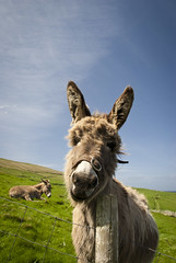 Blasket Donkey (sara zollino) Tags: ocean blue ireland summer irish west green nature field island donkeys donkey sunny atlantic celtic blasketislands