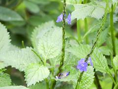 Jamaica False-valerian (ddsnet) Tags: plant flower sony hsinchu taiwan cybershot        sinpu hsinpu cybershor     hx100v jamaicafalsevalerian