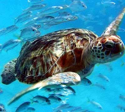 Leatherback underwater.