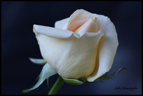 Botao Rosa branca por eduhhz.