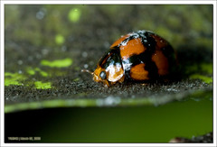 IMG_3115 (yimING_) Tags: macro nature insect ladybird crabspider mpe65 canonmpe65