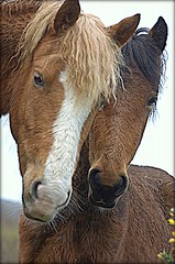 sweethearts (columbo's dad) Tags: horses newforest equine newforestponies abigfave