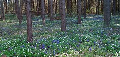 Printemps dans la fort (rariflora) Tags: flowers norway forest fleurs norge spring skog printemps fort tronc vr norvge pennywort anemonenemorosa hepaticanobilis hvitveis blveis trestamme blueribbonwinner floraison anemonehepatica kyststi blomstring anmonedesbois anmonesylvie sterya