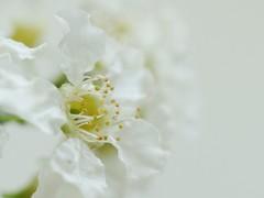 All in white (Kirsten M Lentoft) Tags: white flower macro bravo onwhite muahh themoulinrouge blueribbonwinner firstquality momse2600 infinestyle ysplix overtheexcellence kirstenmlentoft