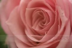Thankful for friends..... (Free2bJ.C.Photos) Tags: pink flowers roses macro love soft thoughtful sensational miniroses rawformat iloveyoubothsomuch canonefs60mmf28macrousm onlythebestare everydayissunday canonrebelxsi allimagesareprotectedundertheunitedstatesandinternationalcopyrightlawsandmaynotbedownloadedreproducedcopiedtransmittedormanipulatedwithoutwrittenpermission ifyoupostphotosinyourcommentsonmyphotospleasemakesuretheyaretheflickrsmallsizethanksifyoupostlargersizeireservetherighttodeleteyourcomment giftfromhoneygirlmickey