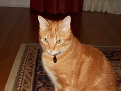 Angel (Catherine Soehner) Tags: orange cute angel cat ginger kitty