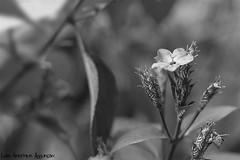 Flor P&B - EXPLORE (Luiz Henrique Assunção) Tags: bw flower canon eos 50mm flor pb explore 40d licassuncao