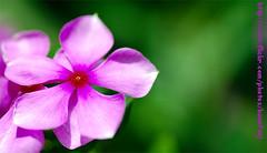 Its a Purple !! (Banafsaj_Q8 .. Free Photographer) Tags: flowers green purple d free photographers kuwait kw q8 betna truthhurts sadfeeling kuw kfp banafsajq8 sanfora farawlafoshya 7adegat