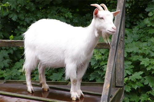 lamb sheep and goat the claudia post