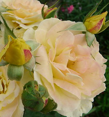 a special rose for a special day (Marlis1) Tags: flowers roses yellow spain soe peacerose marlis1