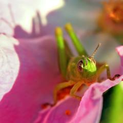 love at first sight. (janoid) Tags: bravo grasshopper myfavorite mygarden xoxo pinkrose xoxoxox xoxoxoxoxoxoxo saturdaysilliness janalicious janoidmagic janoidsstyle ttttttttttttttttttttttt doesnthelookgreatinpink butsoonhewasbackgivingmemoreheartsandlovingglances whenireturnedthenextdayhewasgone butimstillwanderingeverydayhopingtofindhimagain isntjuneawonderfulmonth howdoyouknowitiswasahe pscanyoufindtheheartshebroughtme ithinkhegotalittletiredofmetakingshotsofhim hestayedforalongtimebutafewtimeshethreatenedtojump iwasenchanted ishouldhaveexpecteditfromsuchacharmer imsharingallofthemwithyou hintthereareatleast8 ppsfeelfreetoputnotesifyouwantto