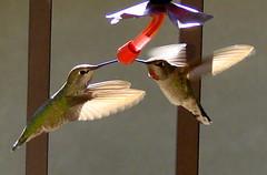 birds wings hummingbird hummingbirds abigfave platinumphoto frhwofavs theunforgettablepictures