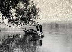 Romancing (hurleygurley) Tags: two bw 510fav ilovenature geese interestingness explore barbara judy hg quailhollow fauxinfrared romancing nuzzling etcet elisabethfeldman
