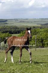 lz200503(49) (Lothar Lenz) Tags: horse caballo cheval cavalo pferd hest equus paard warmblut hst fohlen hestur konj hobu zirgs oldenburger lotharlenz