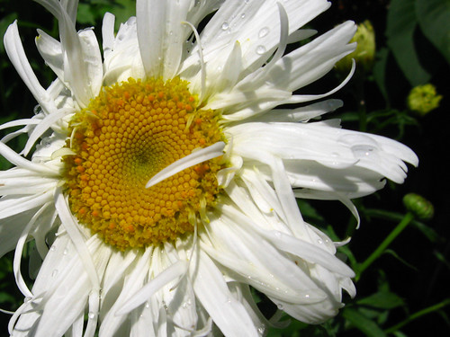 Detail of Daisy