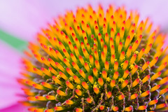 Vivid (Michel Filion) Tags: flower color fleur canon raw vivid pollen michel filion canonef100mmf28macrousm 40d mike9alive michelfilion