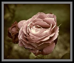 Single Pink Rose (bonksie61) Tags: pink rose canon single smörgåsbord digitalcameraclub almostanything peachofashot