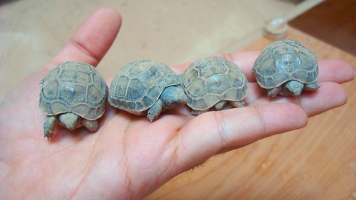 The next generation of my tortoises