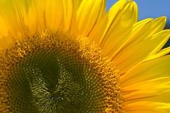 Hiya (Bill Davies (SA)) Tags: flower yellow loveit sunflower naturesfinest flickrflorescloseupmacros