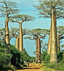 Baobab avenue (another one) (Z Eduardo...) Tags: road sky people tree nature colors madagascar baobab morondava mywinners aplusphoto flickraward flickraward5 flickrawardgallery
