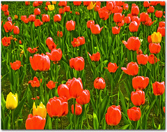 Tulips, not poppies!! (Martjusha) Tags: flowers red flower verde green nature leaves yellow fleurs tulips earth natura giallo tulip fiori terra fiore rosso artcafe tulipani cherryontop excellentsflowers globalworldawards artcafedomidoexhibitionscomein