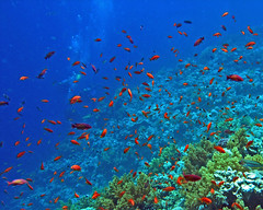 with the red fish at Red Sea (Z Eduardo...) Tags: blue red fish nature colors underwater redsea egypt scubadiving sinai coralreef