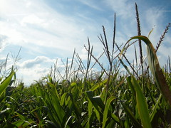 cornfields: sun is here (Raven327) Tags: sun signs corn fields cornfields