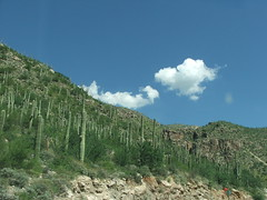 A Mountainside of Sahuaro Cacti