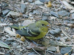 juvenile female western tanager